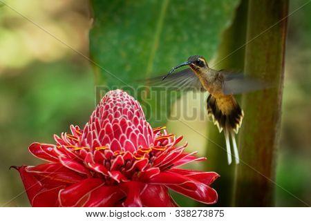 Long-billed Hermit - Phaethornis Longirostris Large Hummingbird On The Red Bloom, Resident Breeder F