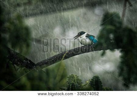 Collared Kingfisher - Todiramphus Chloris Medium-sized Kingfisher Subfamily Halcyoninae, The Tree Ki