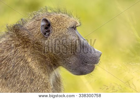 Chacma Baboon (papio Ursinus) Animal Staring In Distance Profile Portrait In Kruger National Park So