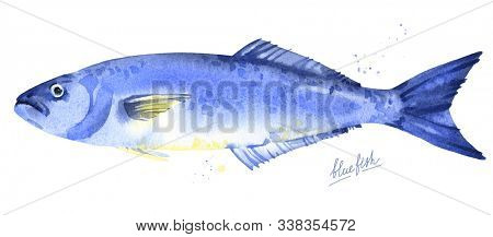 Bluefish watercolor. Hand drawn blue sea fish illustration isolated on white background