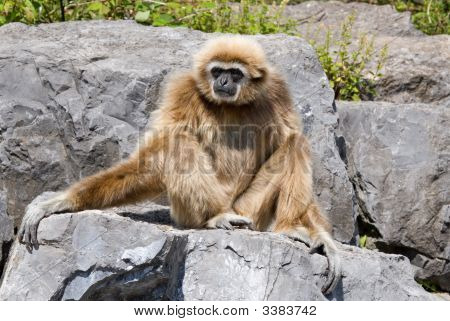 a hairy little monkey on some gray rocks poster