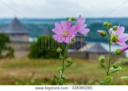 Pink Flowers With Dew Drops On The Background Of Khatyn Fortress. Khotyn Fortress Of The X Xviii Cen