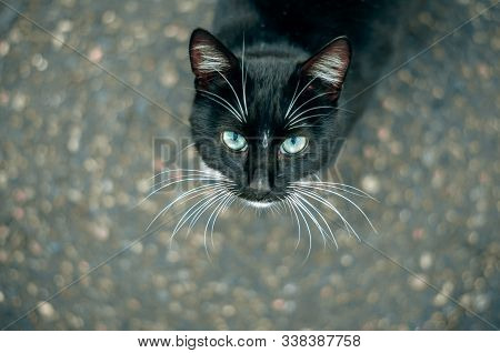 Portrait Of A Beautiful Black Cat With A White Mustache And Green Eyes, A Black Cat On The Street Lo