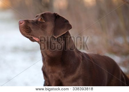 Labrador Retriever is a breed of dog. It was originally bred as a hunting gun dog. Labradors are used in hunting, as guide dogs, rescue dogs, but mainly as companions. The breed originates on the island of Newfoundland on the east coast of Canada. poster