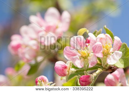 Beautifil pink and white apple flowers in full bloom in early spring