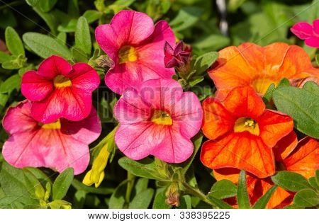 Closeup of orange and pink Calibrachoa flowers