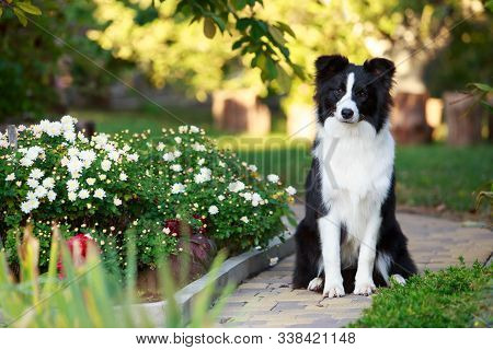 Dog Breed Border Collie Sitting In A Summer Garden