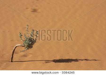Desert Bonsai