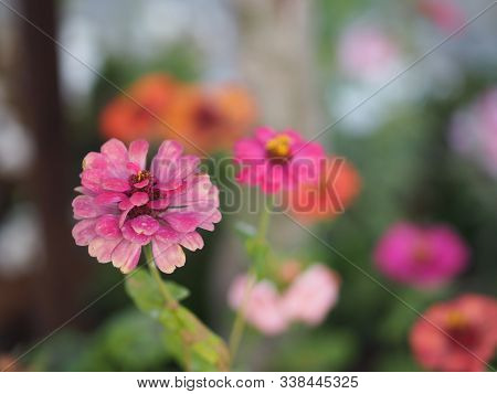 Gerbera , Barberton Daisy Pink Color On Burred Of Nature Background Space For Copy Write