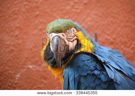 A Blue-and-yellow Macaw - Ara Ararauna