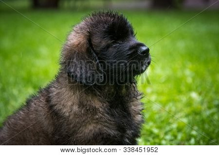 Leonbergers Are Very Powerful Dogs With A Balanced Temperament, Can Be Used As Guard Dogs, Companion