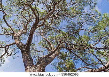 Crown Of Relict Pine Against The Sky. Novyy Svet, Crimea.
