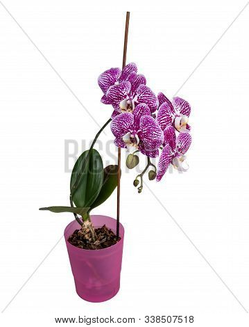 Blooming Phalaenopsis Anastasia In A Pot, Isolated, On A White Background.