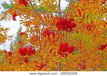 Mountain Ash Berries In The Fall In Adirondack State Park In New York