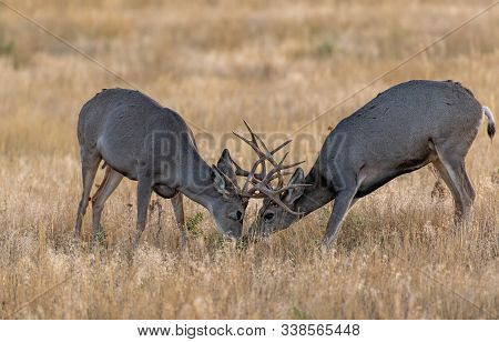 Young Mule Deer Bucks Sparring And Honing Skills