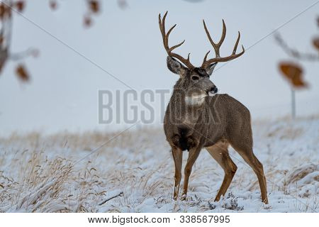 A Large Mule Deer Buck  In A Snow Storm