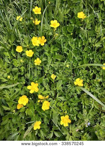 Ranunculus Acris - Meadow Buttercup, Tall Buttercup - With Her Yellow Flowers In The Meadow