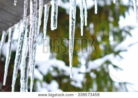 Icicles Hanging From House Roof On Fir Tree Green Background Bokeh. Beautiful Icicles In Bright Wint