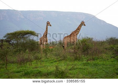 2 Giraffe Brothers Walking In The Field Being Inquisitive