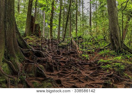 Twisted Exposed Gnarled Aerial Roots Of Pine Trees Growing On A Slope Of A Hill In Lynn Canyon Park