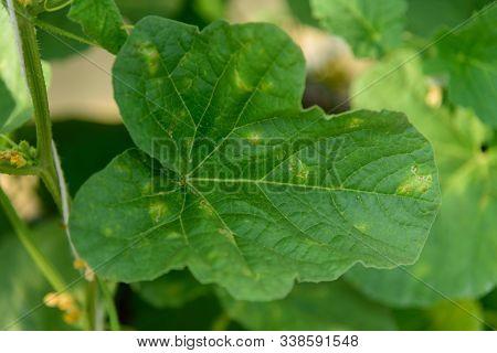 Focus To Downy Mildew In Melon Tree