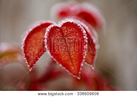Red Leaves In The Freezing Ice And Thawed The Frost Close-up. Colorful Winter Background.