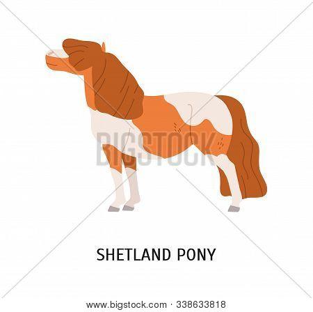 Shetland Pony Flat Vector Illustration. Small Equine, Pedigree Hoss, Thiller, Undersized Horse. Eque