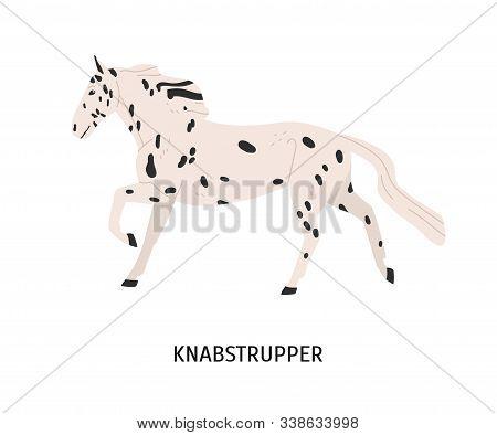 Knabstrupper Horse Flat Vector Illustration. Danish Breed Equine, Pedigree Hoss, Unusual Hair Color