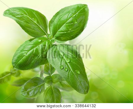 Fresh basil leaves with a drop of water on the surface. Growing plant. Leaf texture in nature. Green garden. Macro photography.