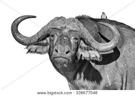 A Cape Buffalo, Syncerus Caffer, Looking At The Camera. Mpumalanga Province Of South Africa