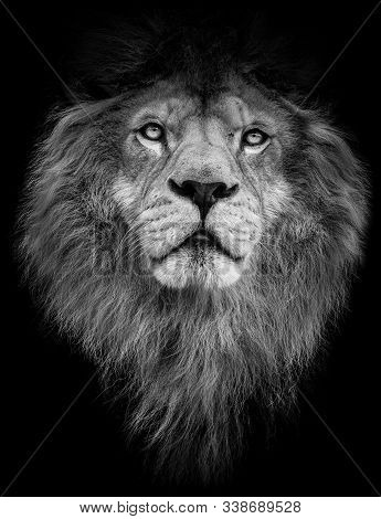 Poster Black And White Lion. Detail Poster Lion. Lion On Black Background. Lion With Big Mane.