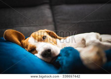 Sleeping Beagle Dog On Sofa. Lazy Day On Couch. Dog Background.