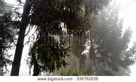 Fir Trees, Pines And Arborvitae Are Standing In Calm Windless Fog. Dark Silhouette Of An Old Spruce.