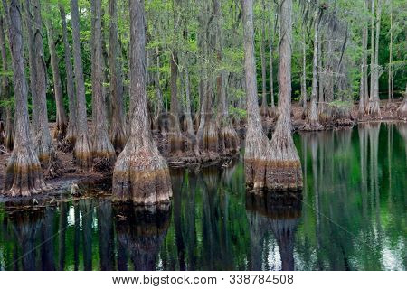Cypress trees in Florida swamp with reflection