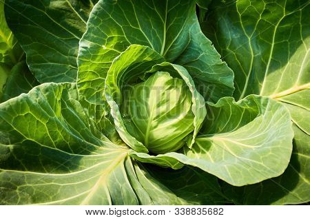 Close Up Picture Of Organic Cabbage.