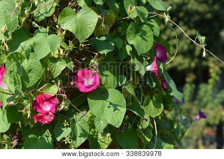 Crimson Rambler Morning Glory - Latin Name - Ipomoea Tricolor Crimson Rambler