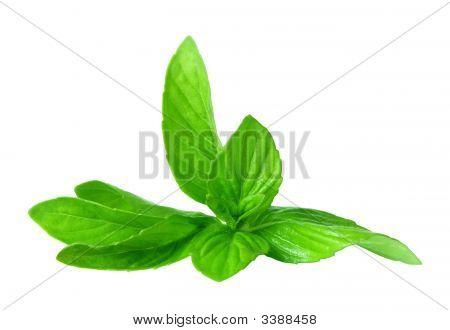 Pepper Mint