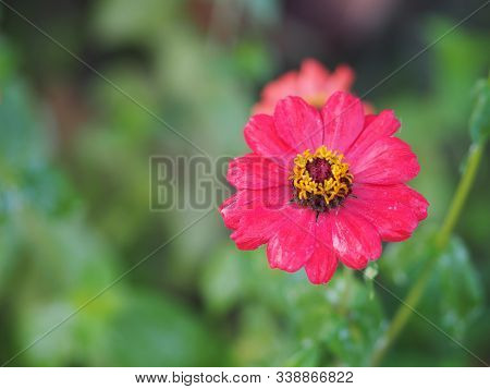 Red Gerbera , Barberton Daisy Flower On Burred Of Nature Background Space For Copy Write