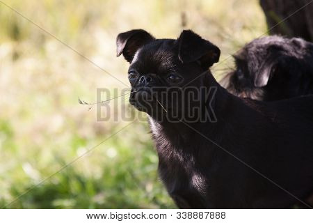 A black dog of the Piti Brabancon breed holds a blade of grass in his mouth