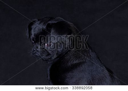 Portrait of a black dog of the Piti Brabancon breed on a black background