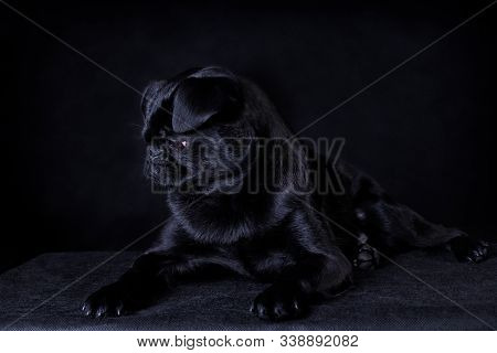 Portrait of a black dog of the breed Piti Brabancon lies on a black background