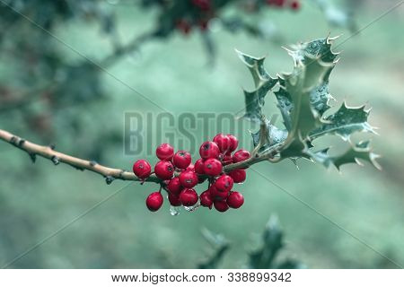 Beautiful Boughs With Bright Red Berries With Raindrops And Green Leaves Of Ilex Aquifolium, Traditi