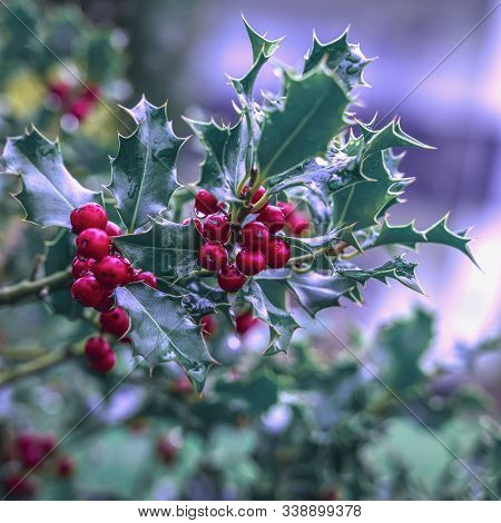 Evergreen Boughs Green Leaves And Red Berries. Ilex Aquifolium Christmas Holly Natural Decor