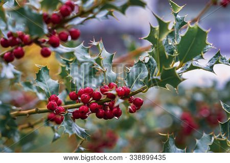 Evergreen Boughs Green Leaves And Red Berries. Ilex Aquifolium Christmas Holly Decor