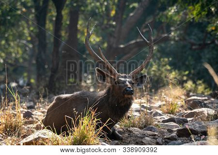 Sambar Deer Or Rusa Unicolor Close Up Sitting In Winter Back Light And Green Background At Ranthambo