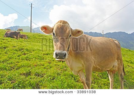 Swiss Cow Resting On Green Grass In Alps