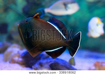 Indian Triggerfish Or Melichthys Indicus In Sea Water