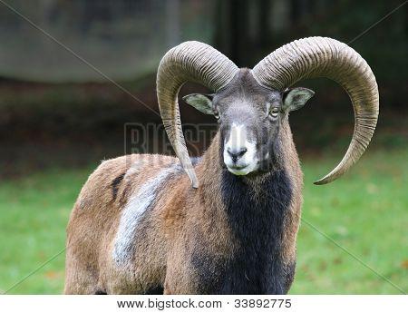 moufflon on natural background