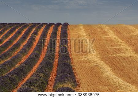 Lavender And Wheat Fields Collected. Agriculture Concept