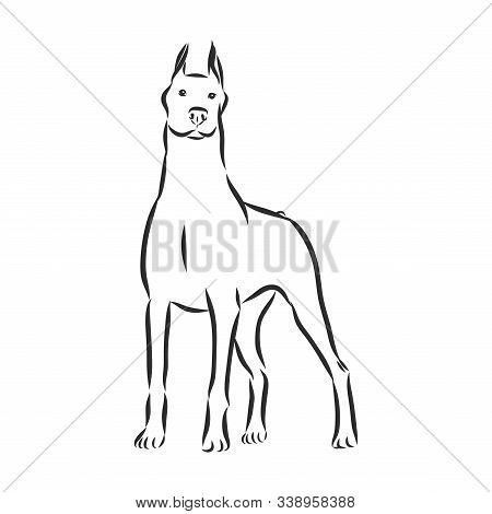 Dog Doberman Breed, On White Background, Vector
